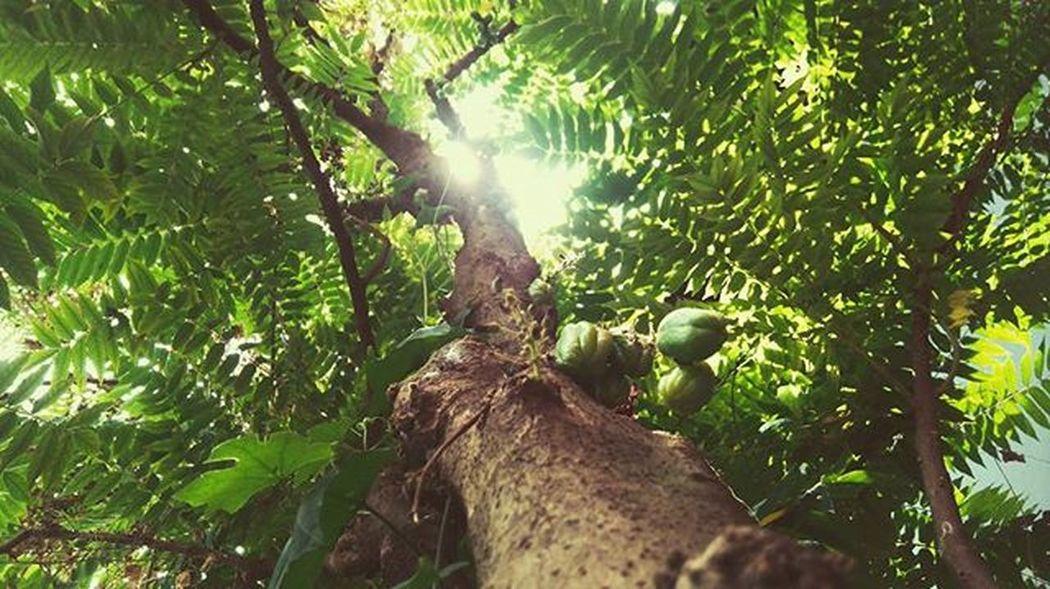 Gift of nature 🌳 Morning Tree Sunlight Wood Green Picoftheday Tweegram Earth Nature Leaf Leafs Kerala Kochi Cute Me
