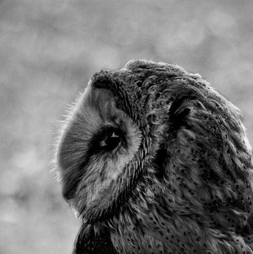 Barn owl Owl Sky Nature Outdoors Animal Themes No People Close-up Portrait Day Animal Wildlife Blackandwhite Bw_collection Bw Animal Tree Birds Bird Bird Of Prey Black And White Low Angle View Monochrome Sitting Beautiful Wildlife & Nature Focus On Foreground EyeEmNewHere