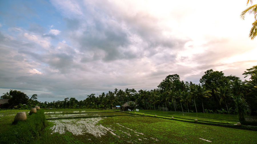 Ubud Rice Fields Beauty In Nature Cloud Cloud - Sky Countryside Day Footpath Grass Green Growth Landscape Long Nature Non-urban Scene Outdoors Park Park - Man Made Space Remote Road Scenics Sky Solitude The Way Forward Tranquil Scene Tranquility Ubud, Bali Finding New Frontiers The Traveler - 2018 EyeEm Awards