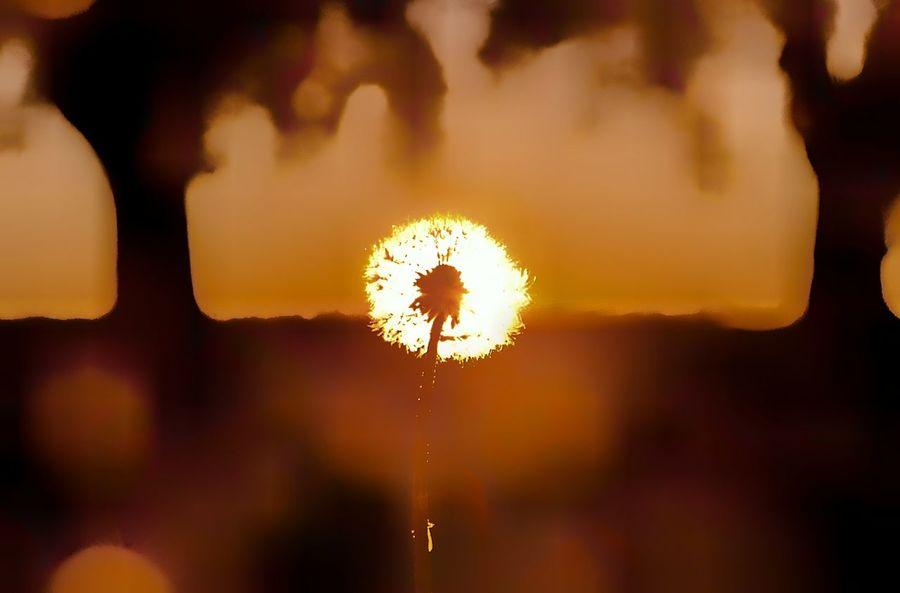 Softening Close-up Fragility Flower Outdoor Photography London Ontario Rural Scene Canada Coast To Coast Nikon D7000 Ontario, Canada Nature Nikon Life Tranquility Back Lit Non-urban Scene Sunset Sunbeam Lense Flare Dandelion Nikon Photography Defocused Beauty In Nature Defocus Defo