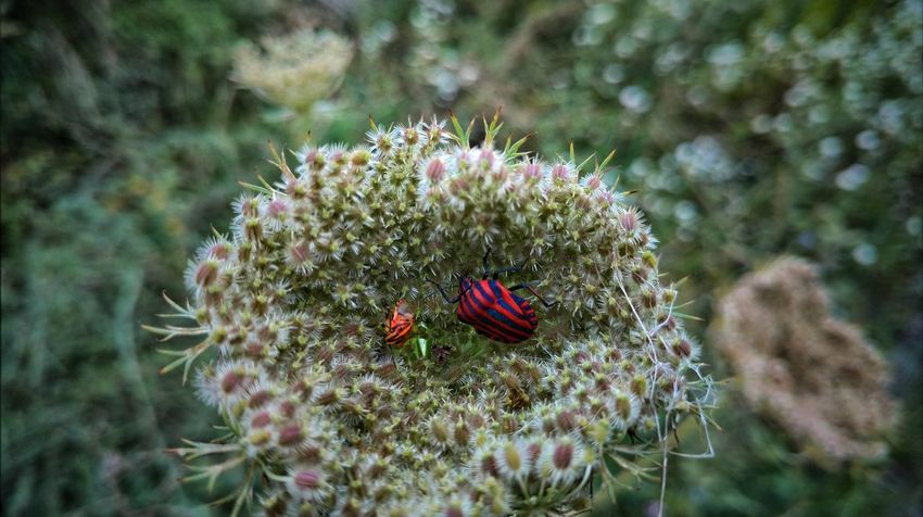 Two Generationen High Angle View Nature Focus On Foreground EyeEm Selects EyeEmBestPics EyeEm Best Shots Eyeemphotography Franken Blooming Beauty In Nature EyeEmbestshots Beetle Bug Beetle Insect Nature Beetle Collection Animal Wildlife Animals In The Wild Flower Head