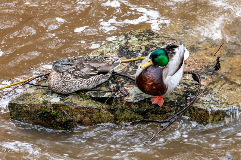 High angle view of mallard duck in lake