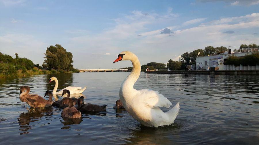 swan family ar