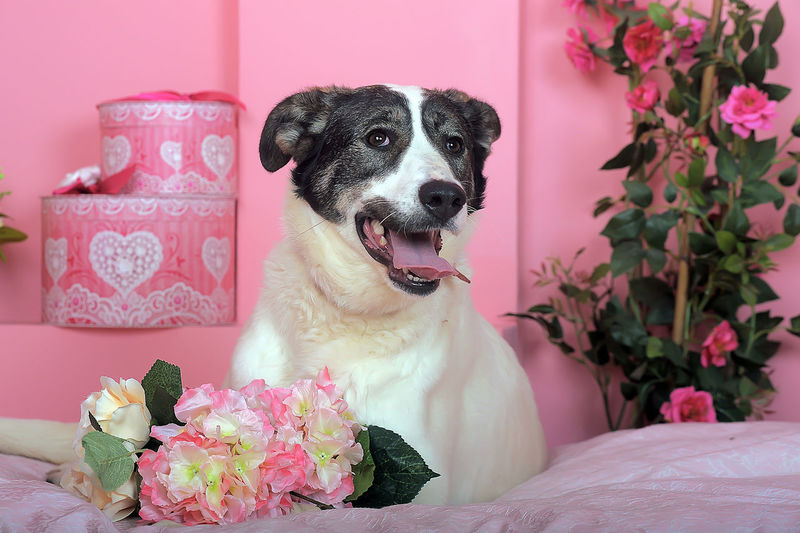 Close-up of a dog with pink roses