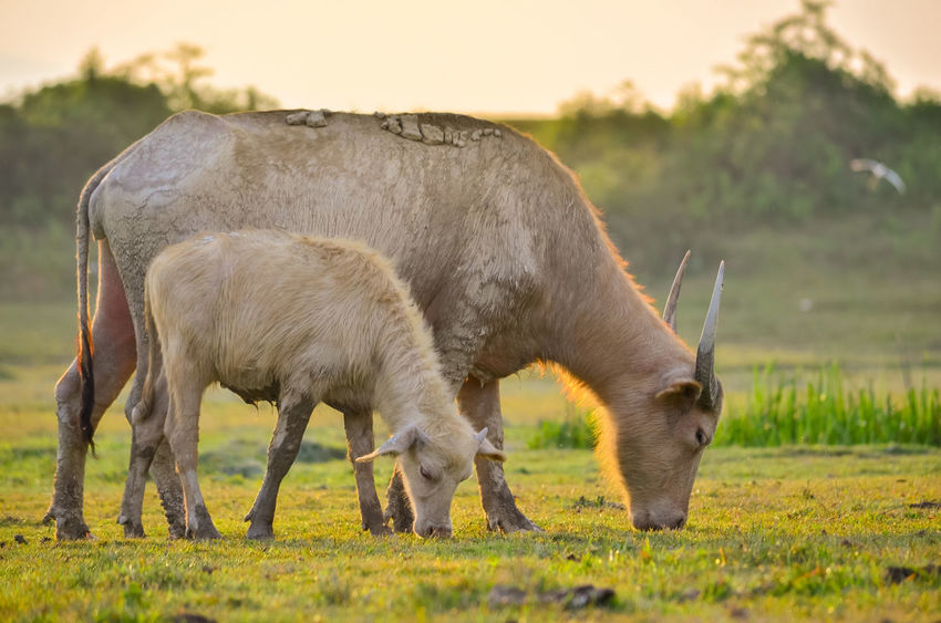 Buffalo EyeEmNewHere Thailand Animal Themes Buffalo, Golden Light, Meadow, Buffalo Herd, Buffalo Is Eating Grass, Buffalo In The Meadow Domestic Animals Field Focus On Foreground Grass Grazing Livestock Mammal Nature One Animal Outdoors Standing