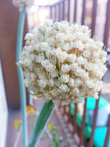 White Flower Flowers Flower Onion Flower