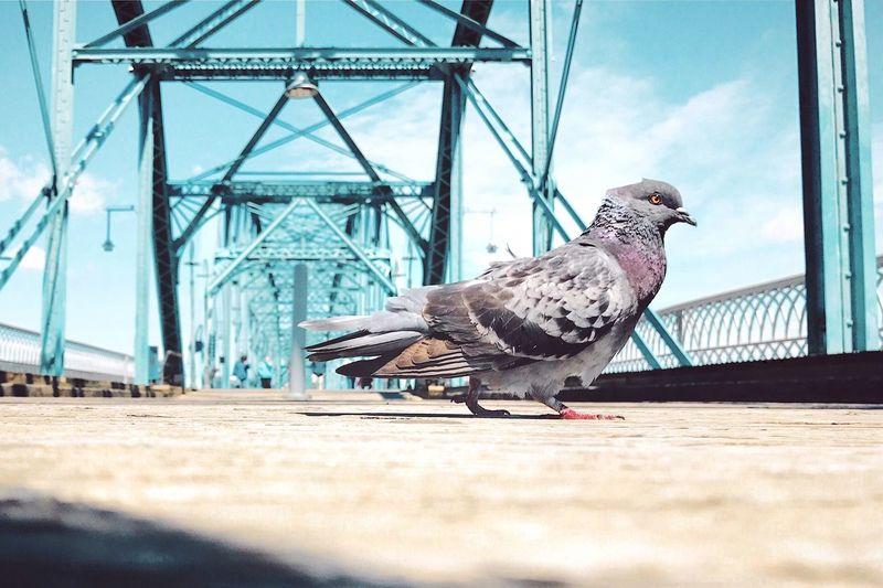 Low angle portrait of pigeon against sky on bridge