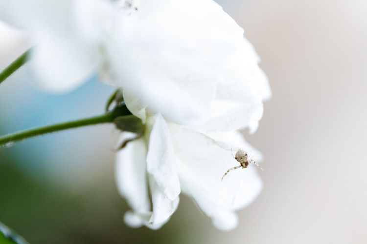 Spider Animal Themes Arachnid Beauty In Nature Close-up Day Flower Flower Head Insect Nature No People One Animal Petal White Color