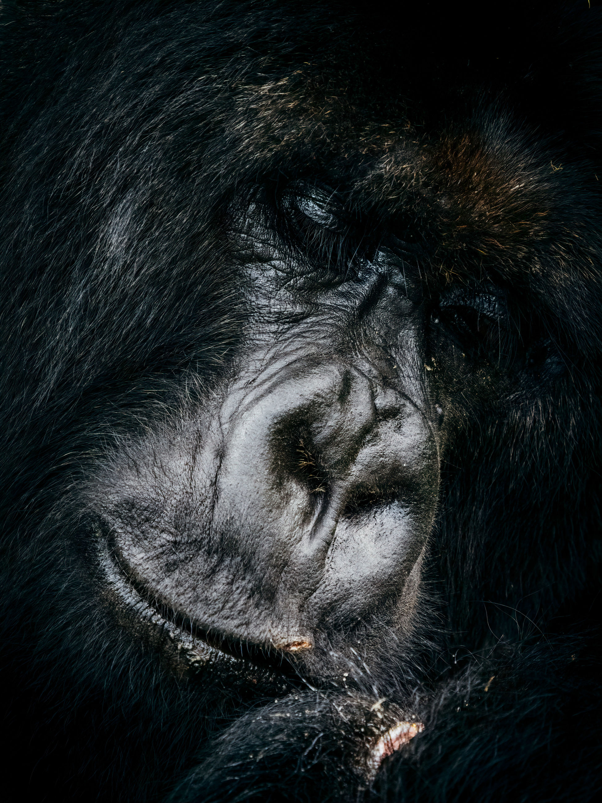 mammal, animal themes, animal, animal wildlife, one animal, animals in the wild, primate, monkey, close-up, no people, ape, animal body part, animal head, vertebrate, gorilla, endangered species, day, portrait, animal hair, hair
