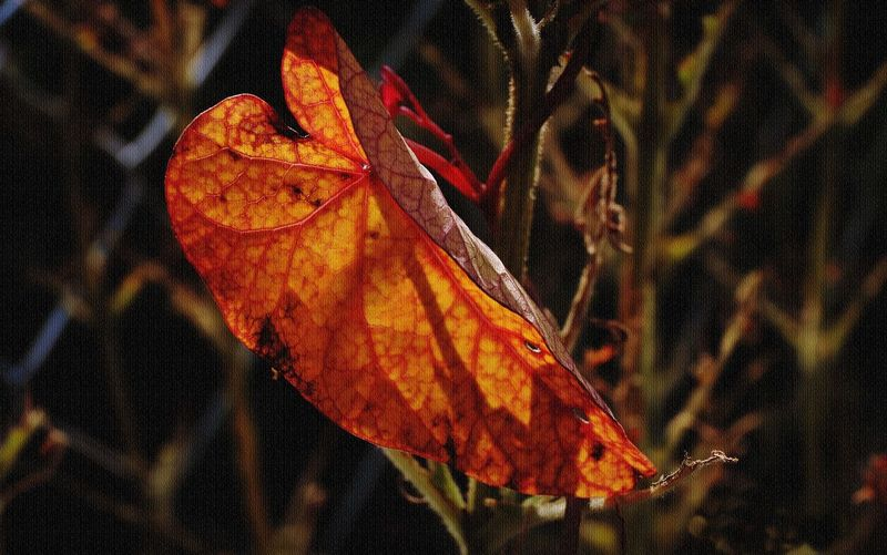 Autumn Collection Autumn Colors Autumn Leaves Nature Photography Autumn Beauty In Nature Change Close-up Day Focus On Foreground Fragility Leaf Light And Shadow Maple Maple Leaf Nature Nature_collection Nature_perfection Naturephotography No People Orange Color Outdoors Red Seasons Greetings Seasonscollection