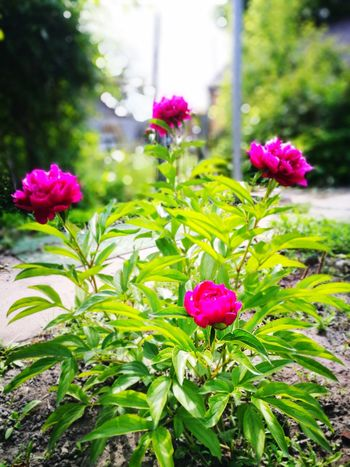 Pion Pink Color Plant Flower Nature Summer Outdoors No People Day Green Color Peony  Beauty In Nature Huawei P9 Leica