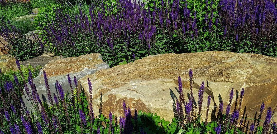 Nature Photography Kräutergarten  Salbeiblüten Oldplant Wildflower