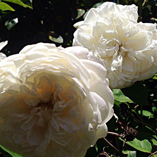 Fair Bianca -more at my blog - - - redleft.weebly.com Roses White Fair Bianca