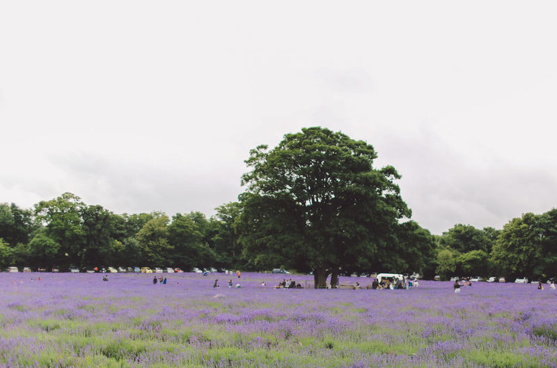 Beauty In Nature Day Field Grass Green Color Growth Landscape Lavanda Lavander Lavander Flowers Lavanderfields Leisure Activity Lifestyles LV Mixed Age Range Nature Outdoors Scenics Sky Summer Surrey Tranquil Scene Tranquility Tree Vacations