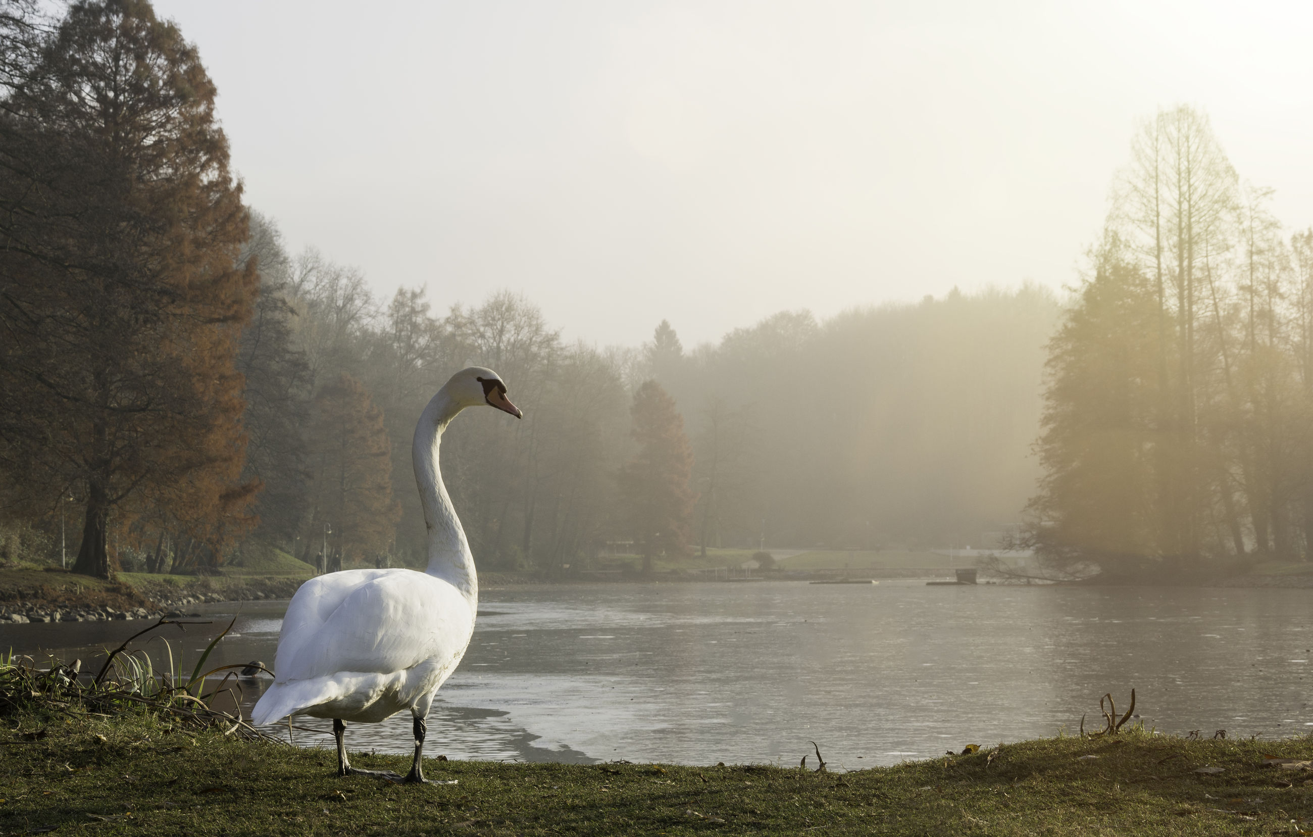 bird, animal themes, animals in the wild, tree, animal wildlife, nature, fog, beauty in nature, one animal, day, no people, lake, water, sky, outdoors, swan