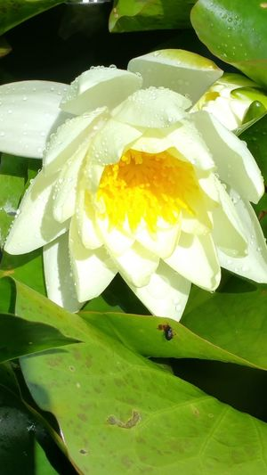 Freshness Flower Green Color No People Close-up Plant Flower Head Beauty In NatureOutdoors Blooming White Color Water Drop Wet Lotus Water Lily Day Summer
