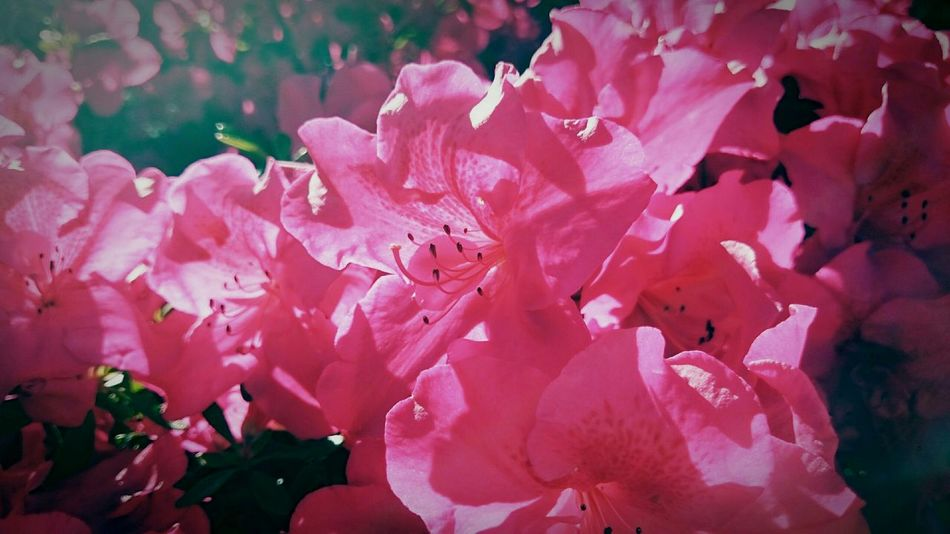 Beauty in pink 💕 Traveling Gardening Garden Flowers Pink Flowerporn Wanderlust Enjoying The Sun Newzealand New Zealand Traveler Naturelovers
