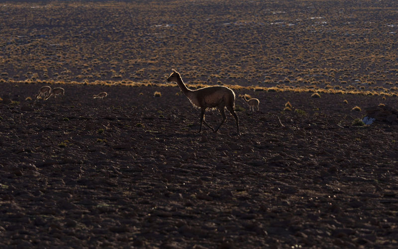 guanaco standing by field in fading sunlight