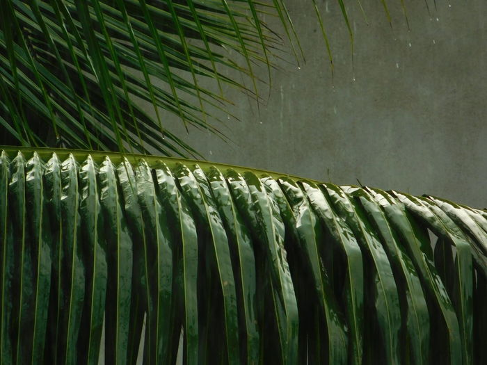 rain on green Tranquil Scene depth of field Rain Wet Drops Greenery Green Color Pattern Close-up Green Color Palm Leaf Date Palm Tree Leaves Leaf Vein Leaf