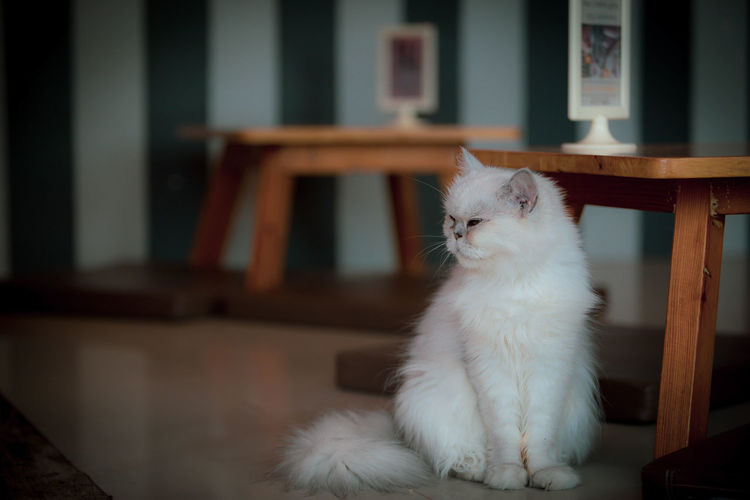 White cat sitting on table at home