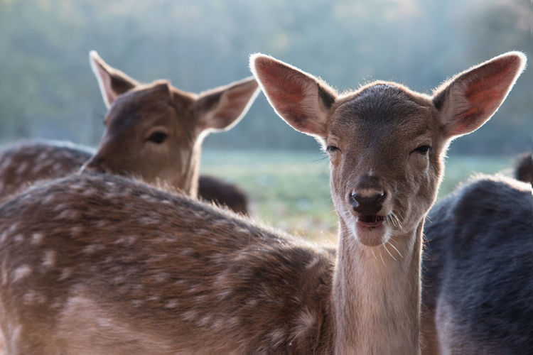 Animal Themes Animal Wildlife Animals In The Wild Beauty In Nature Close-up Day Deer Looking At Camera Mammal Nature No People Outdoors Portrait