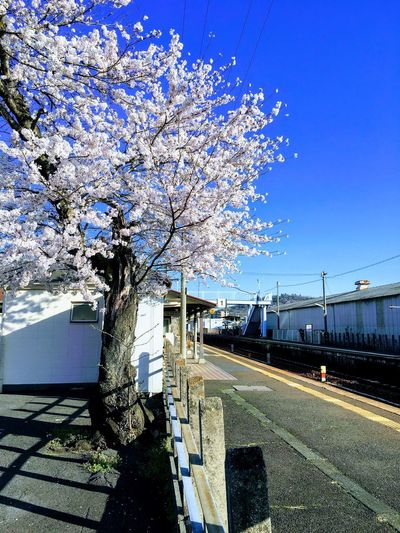 Cherry tree by road against sky