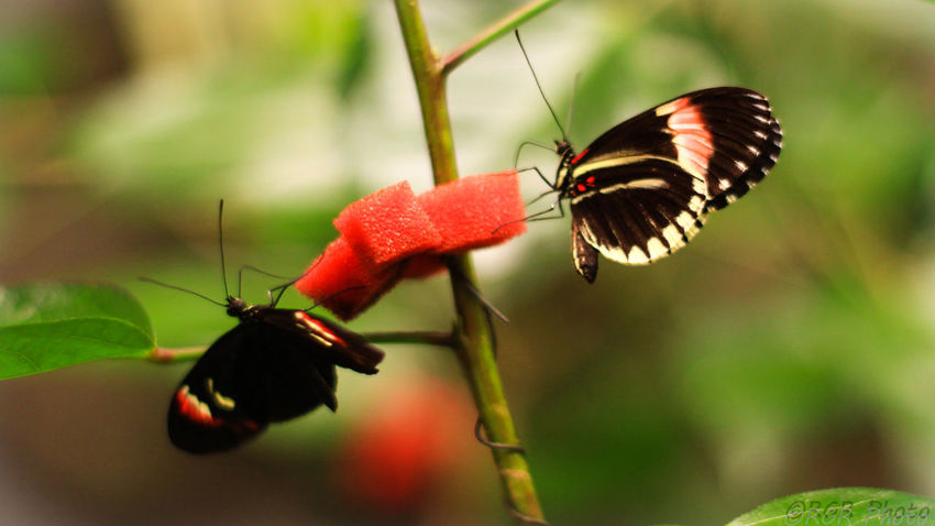 Animal Themes Animal Wildlife Animals In The Wild Beauty In Nature Butterfly Butterfly - Insect Close-up Day Faunia Flower Flower Head Focus On Foreground Fragility Freshness Insect Mariposa Nature No People One Animal Plant