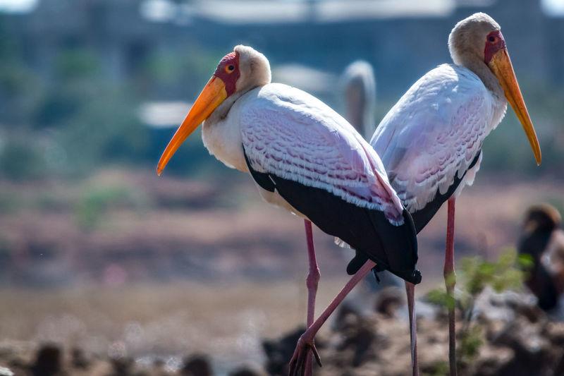 A Beauty In Nature Beauty Redefined Bird Bird Of Prey Bird Photography Birds Of EyeEm  Birdwatching Yellow Billed Stork Ethiopia EyeEm Nature Lover Free Marabu Prey Animal Cycle Of Life
