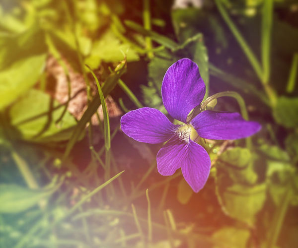 A beautiful violet in bloom. Flower Flowering Plant Plant Freshness Growth Beauty In Nature Vulnerability  Petal Fragility Close-up Flower Head Pollen Violet Viola Violaceae Plantae Nature Beauty In Nature Colorful Fragile Blooming Flora Floral