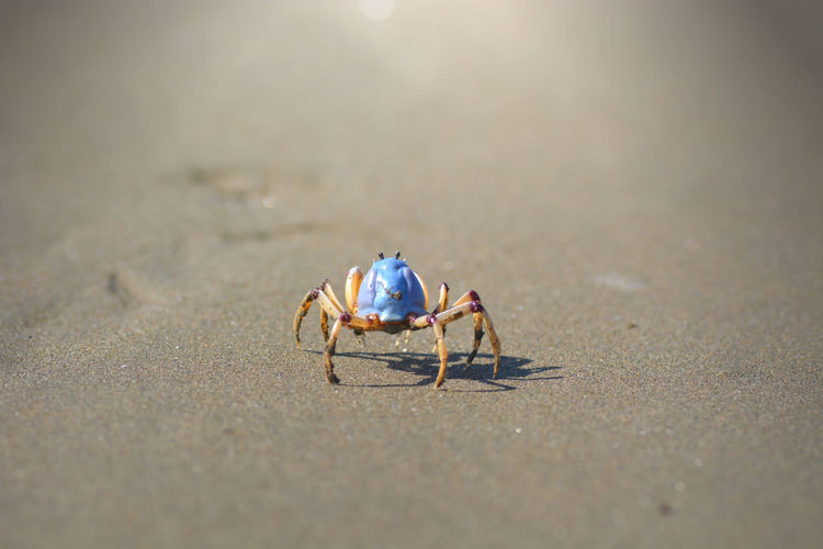 Blue crab crawling on the beach Animal Themes Animal Wildlife Animals In The Wild Beach Blue Crab Close-up Crab Crustacean Day Nature No People One Animal Outdoors Sand Sea Life