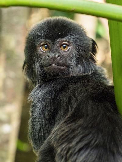 Monkey Dählhölzli Zoo Blackmonkeys Day Focus On Foreground Looking Looking At Camera Monkey No People One Animal Portrait Primate EyeEmNewHere EyeEmNewHere The Great Outdoors - 2018 EyeEm Awards