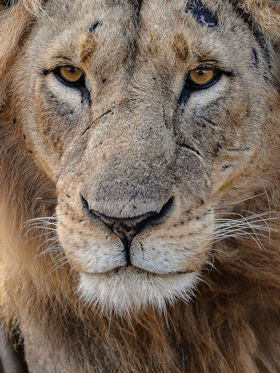 Animal Head  Animal Themes Animal Wildlife Animals In The Wild Close-up Day Lion - Feline Lioness Looking At Camera Mammal No People One Animal Outdoors Portrait Safari Animals