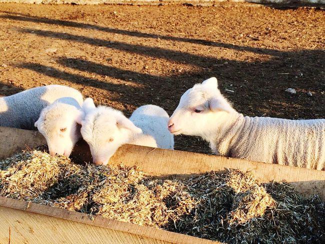 Sheeps Yavrukuzu Sheep Eating Time First Eyeem Photo