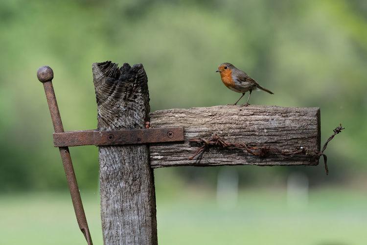 Cute robin