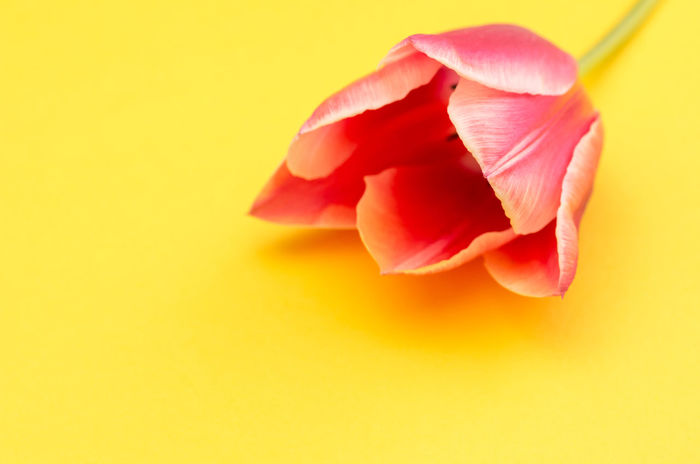 tulip still life Beauty In Nature Botanical Species Close-up Colored Background Flower Flower Head Flowering Plant Fragility Freshness Indoors  Inflorescence Nature No People Petal Plant Red Rosé Soft Focus Softness Studio Shot Tulip Vulnerability  Yellow Yellow Background