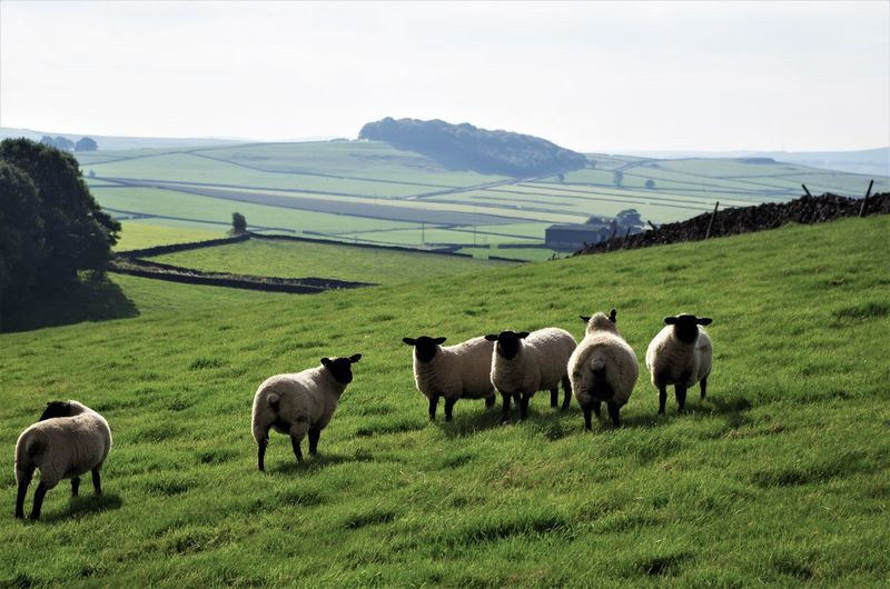 sheeps in the peak district Agriculture Animal Themes Beauty In Nature Cow Day Domestic Animals Farm Field Grass Grazing Landscape Livestock Mammal Mountain Nature No People Outdoors Pasture Peak District  Rural Scene Scenics Sky Young Animal
