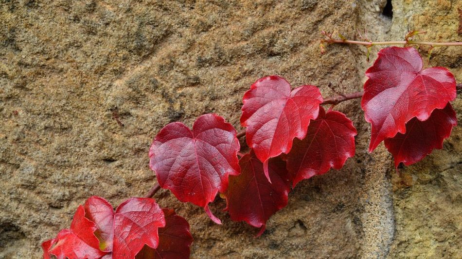 | autumn loves you ❤️ | Ivy Ivy Leaves Efeu Efeu An Mauer Tendrils Tendril Autumn Autumn Colors Autumn Leaves Fall Fall Beauty Red Leaves Leaves Red Sandstone Sandstone Wall Stone Wall Heartshape Stone Texture Textures And Surfaces Pattern, Texture, Shape And Form