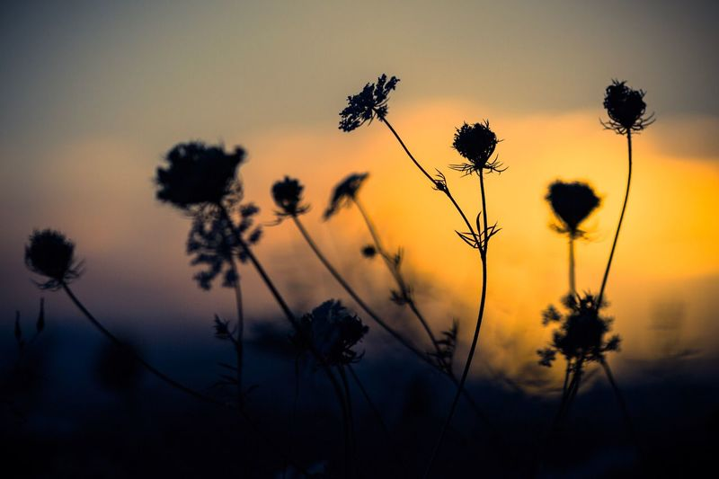 Silouette & Sky Flower Growth Nature Plant Sunset Beauty In Nature Outdoors Tranquility Fragility Field No People Sky Yellow Flower Head Tree Close-up Freshness Day Thistle