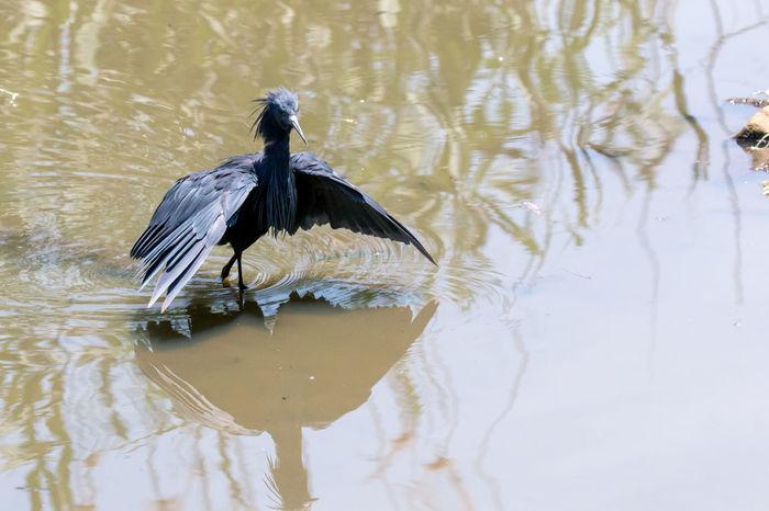 Africa Animal Themes Animal Wildlife Animals In The Wild Animals In The Wild Bird Birds Black Heron One Animal Pretoria South Africa Water Wildlife & Nature