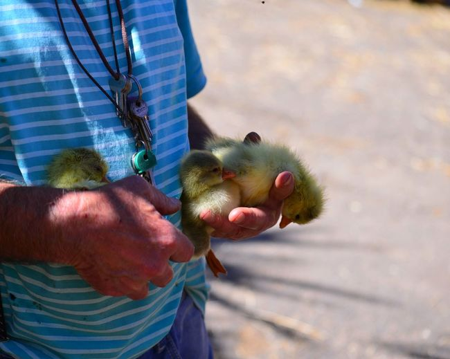 Midsection of man holding ducklings