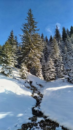 winter is coming...:) Tree Snow Clear Sky Mountain Water Pinaceae Sky Close-up Landscape Snow Covered Snowcapped Deep Snow Snowfall Powder Snow Frozen Pine Woodland Snowcapped Mountain Evergreen Tree Needle - Plant Part Coniferous Tree Pine Tree Spruce Tree