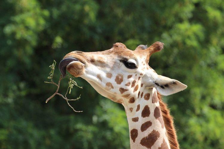 Giraffe Animals Zoo Open Edit EyeEm Best Edits Ladyphotographerofthemonth Eye4photography  EyeEm Best Shots Eye4photography