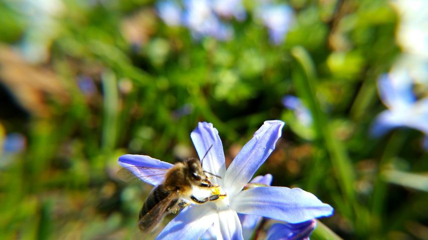 Beauty In Nature Bee Biene Blooming Blue Close-up Day Dortmund Flower Flower Head Focus On Foreground Fragility Freshness Growth Nature No People Outdoors Petal Plant Purple Rombergpark Scilla Selective Focus Skilla Skilla Flower