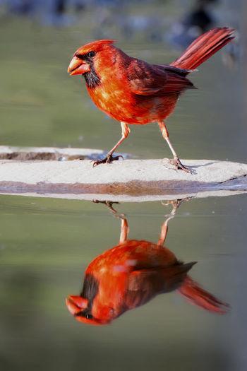 Close-up of a red cardinal bird and reflection