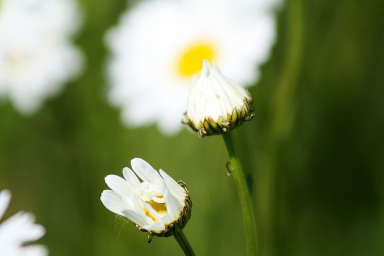 wild daisies Wild Daisies Nature Photography Flower Head Flower Petal Buzzing White Color Uncultivated Close-up Plant Flowering Plant Botany Blossom Focus Wildflower