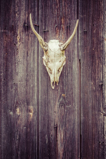Close-up of animal skull hanging on wood