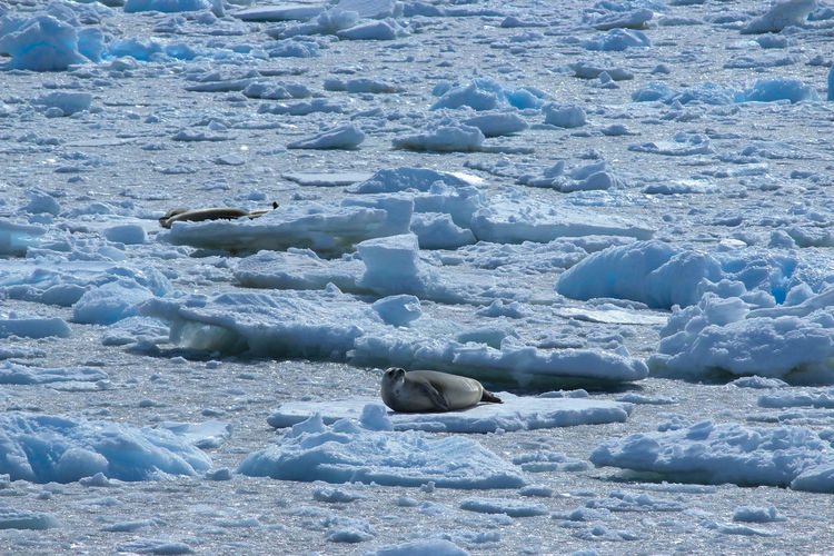 Cold Temperature Winter Ice Snow Day Nature Frozen No People Environment Landscape Water Beauty In Nature White Color Tranquility Glacier Tranquil Scene Outdoors Sea Iceberg Melting Elephant Seals Antarctica Travel Destinations Animal In The Wild