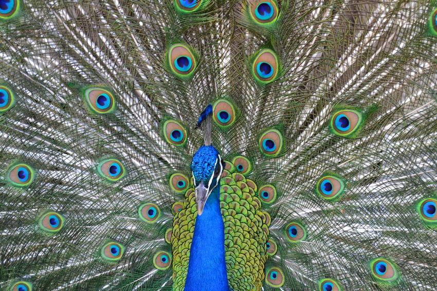 #aves #extremadura #noperson #parquedelospinos #pavo #pavoreal #plasencia