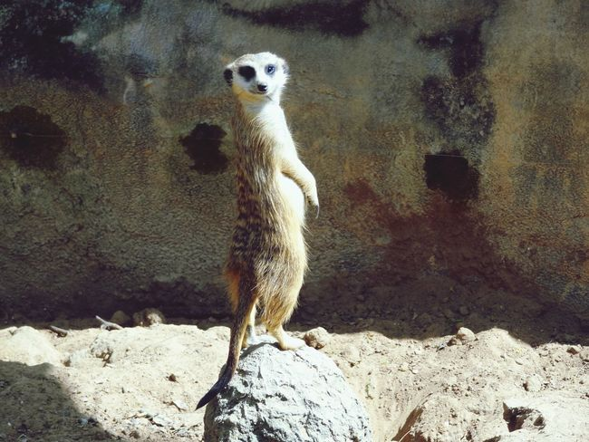 Good morning 😄 One Animal Meerkat Animal Themes Mammal Rock - Object Day Animal Wildlife Animals In The Wild Standing Outdoors No People Sand Portrait Nature Close-up