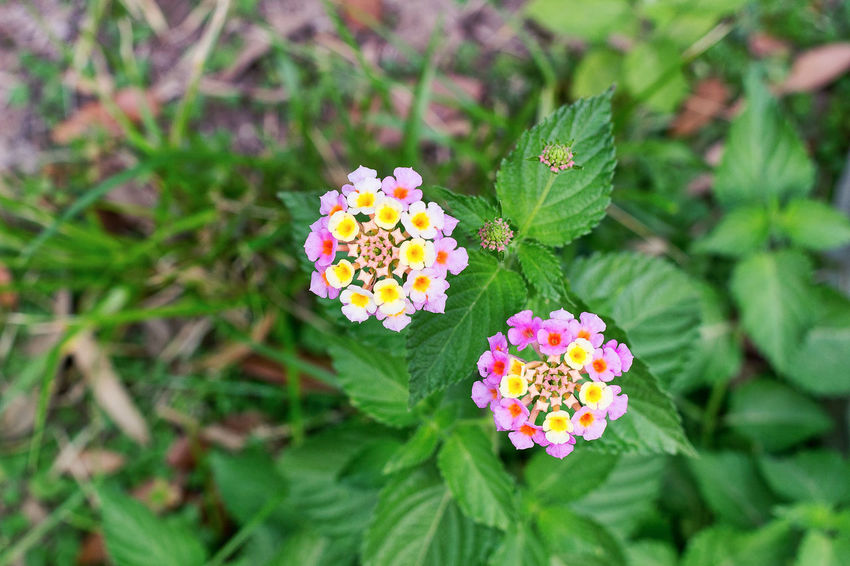 Beauty In Nature Blooming Botany Close-up Day Flower Flower Head Fragility Freshness Green Color Growth High Angle View Lantana Camara Leaf Nature No People Outdoors Park - Man Made Space Petal Plant Zinnia